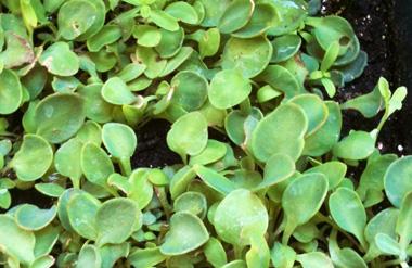 Comprar Rhodiola ecológica