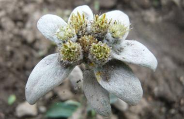 Cultivos Edelweiss TaullOrganics